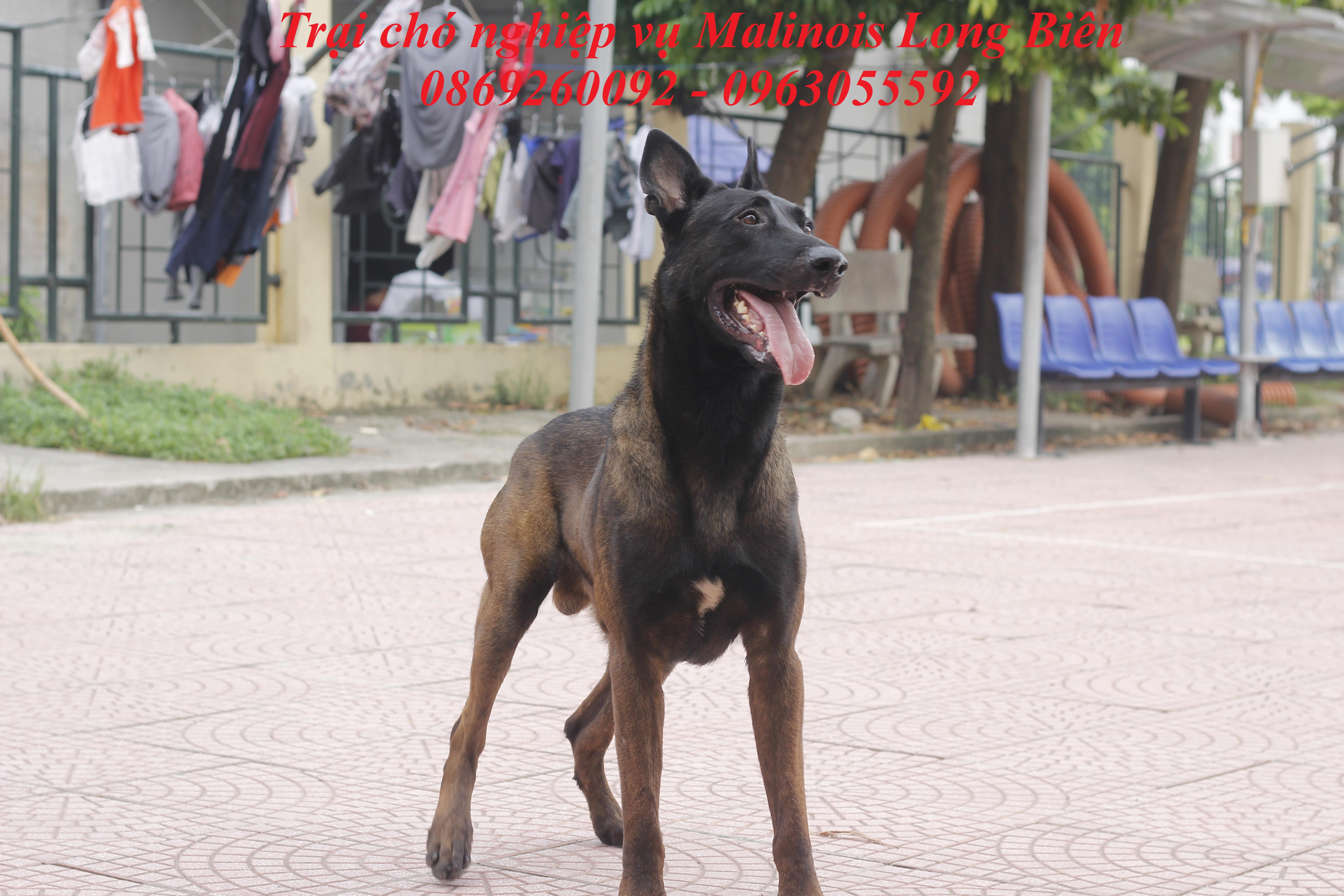 Chó Malinois Lobo nhập Mexico tại trại chó Malinois Long biên