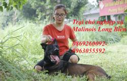 Chó malinois trưởng thành và những điều cần biết