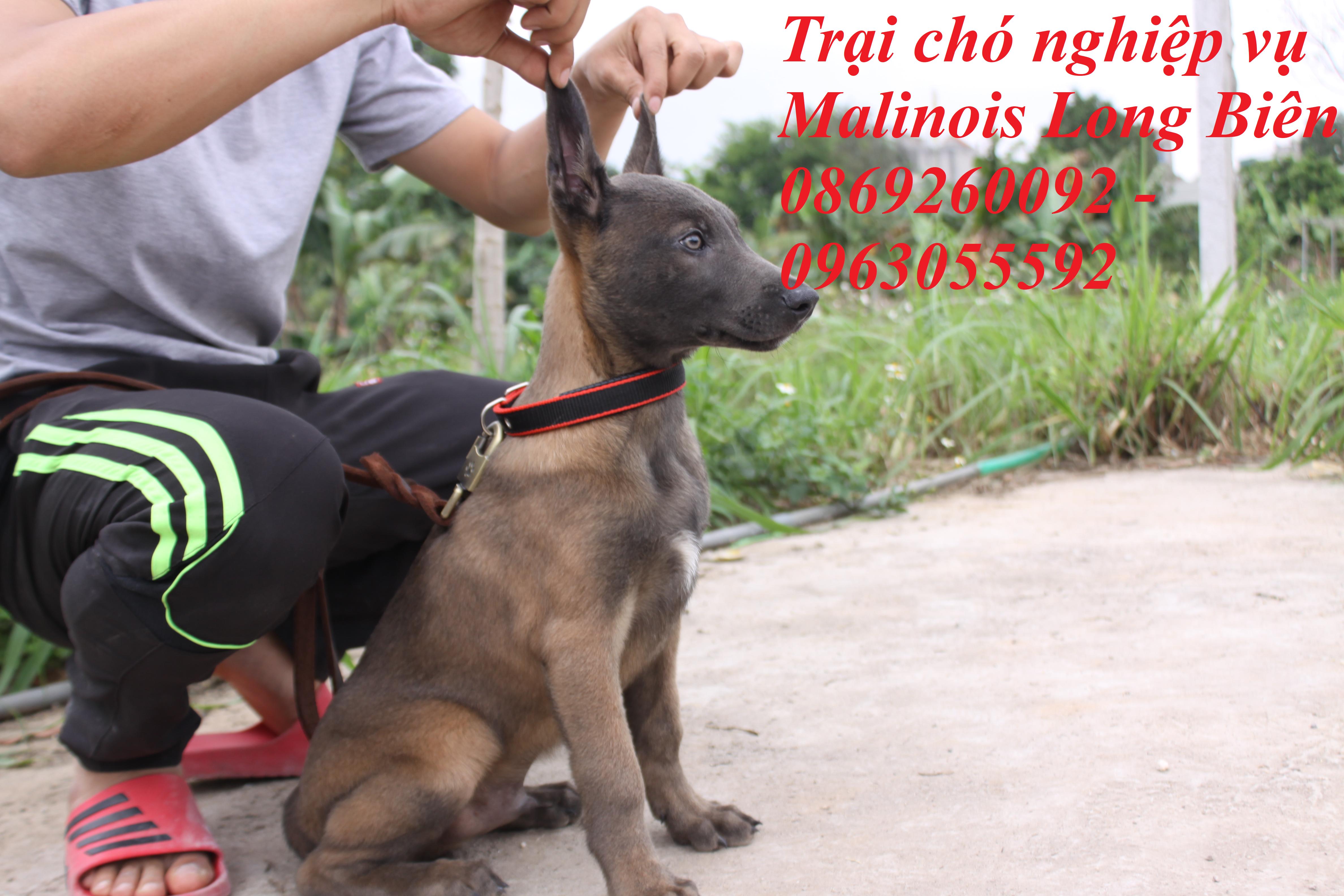Chó con màu Blu tại trại chó Malinois Long Biên Hà Nội