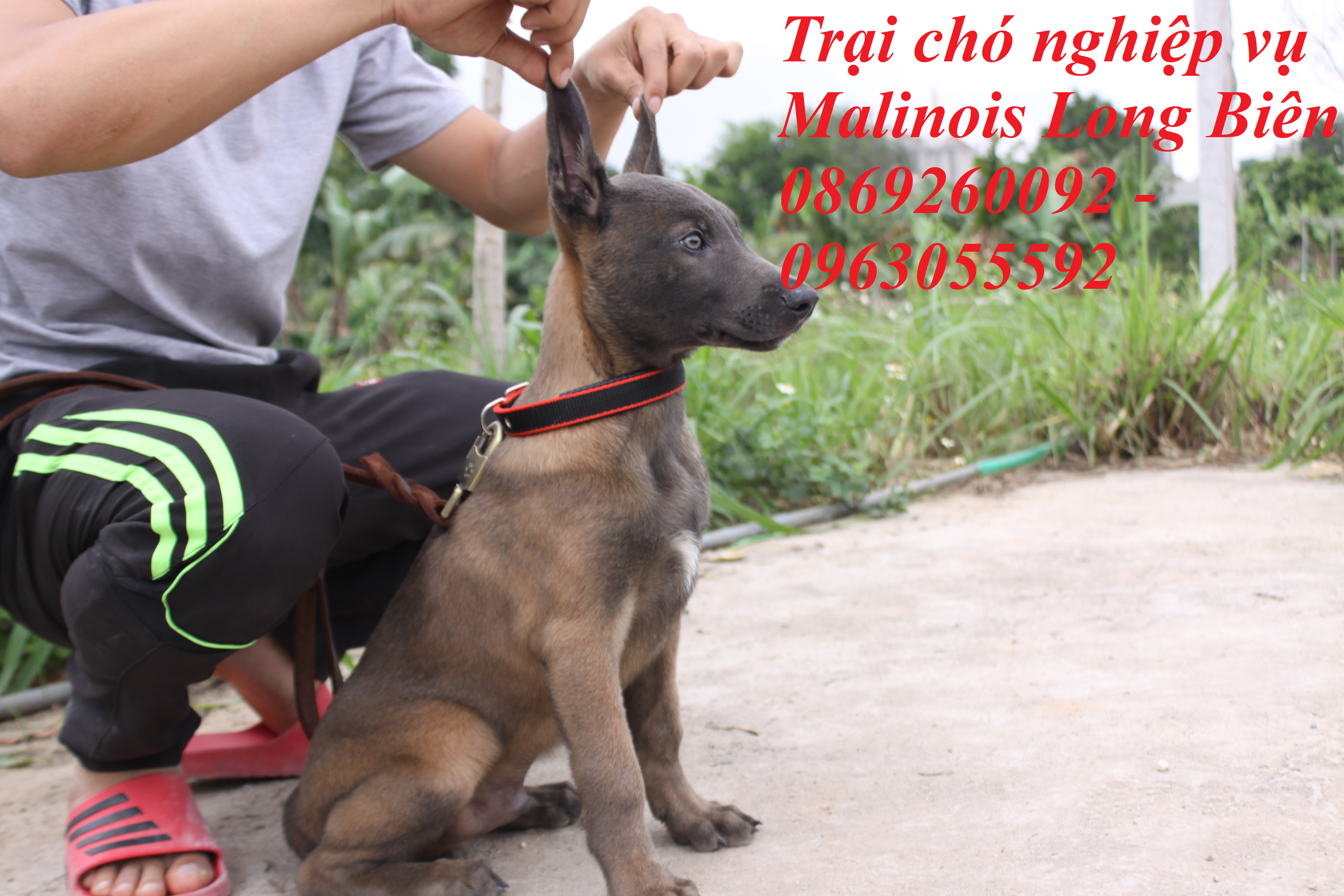 Chó becgie Bỉ malinois màu Blu hiếm có tại trại chó nghiệp vụ malinois Long Biên