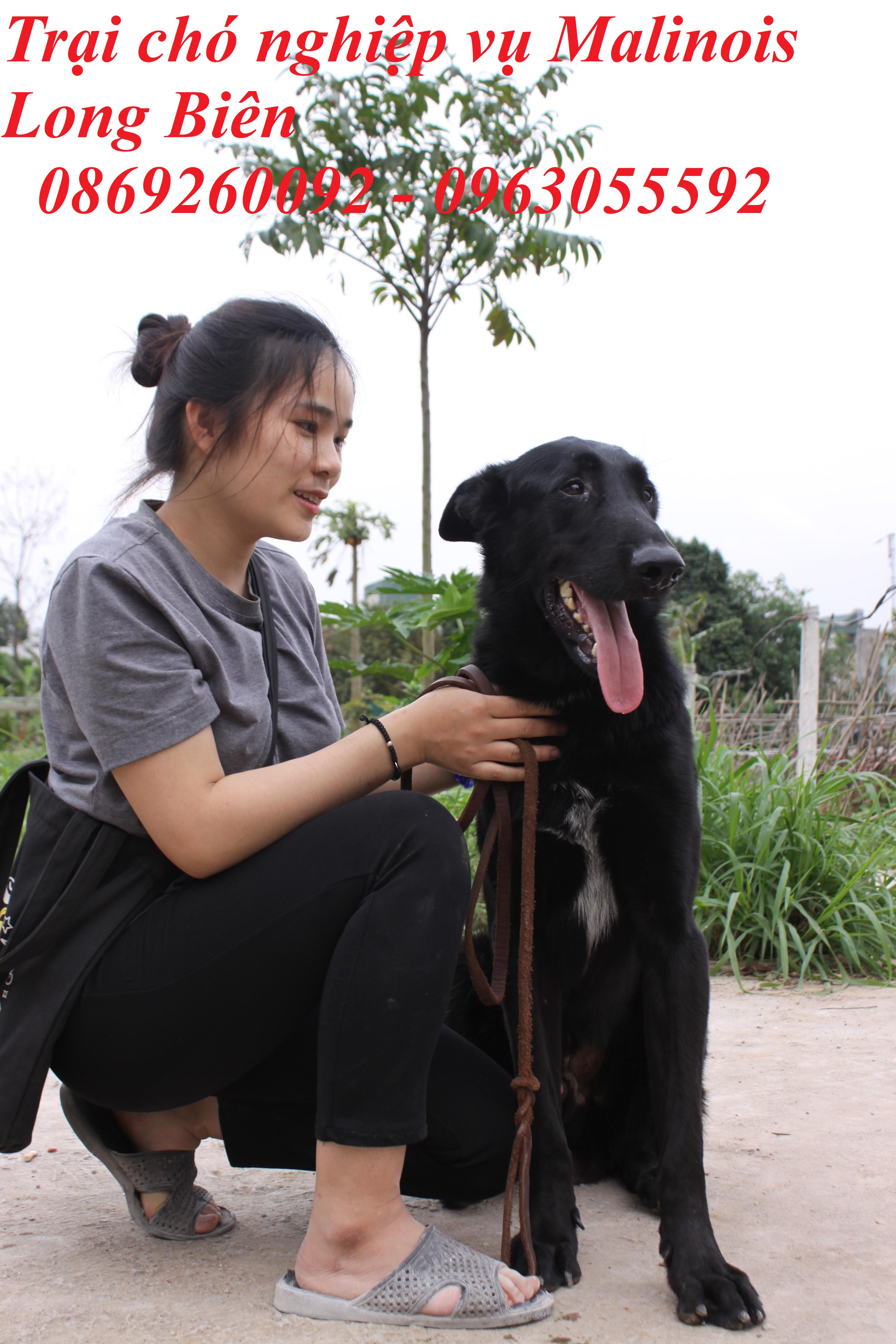 Chó Malinois trươngr thành tại trại chó Malinois Long Biên