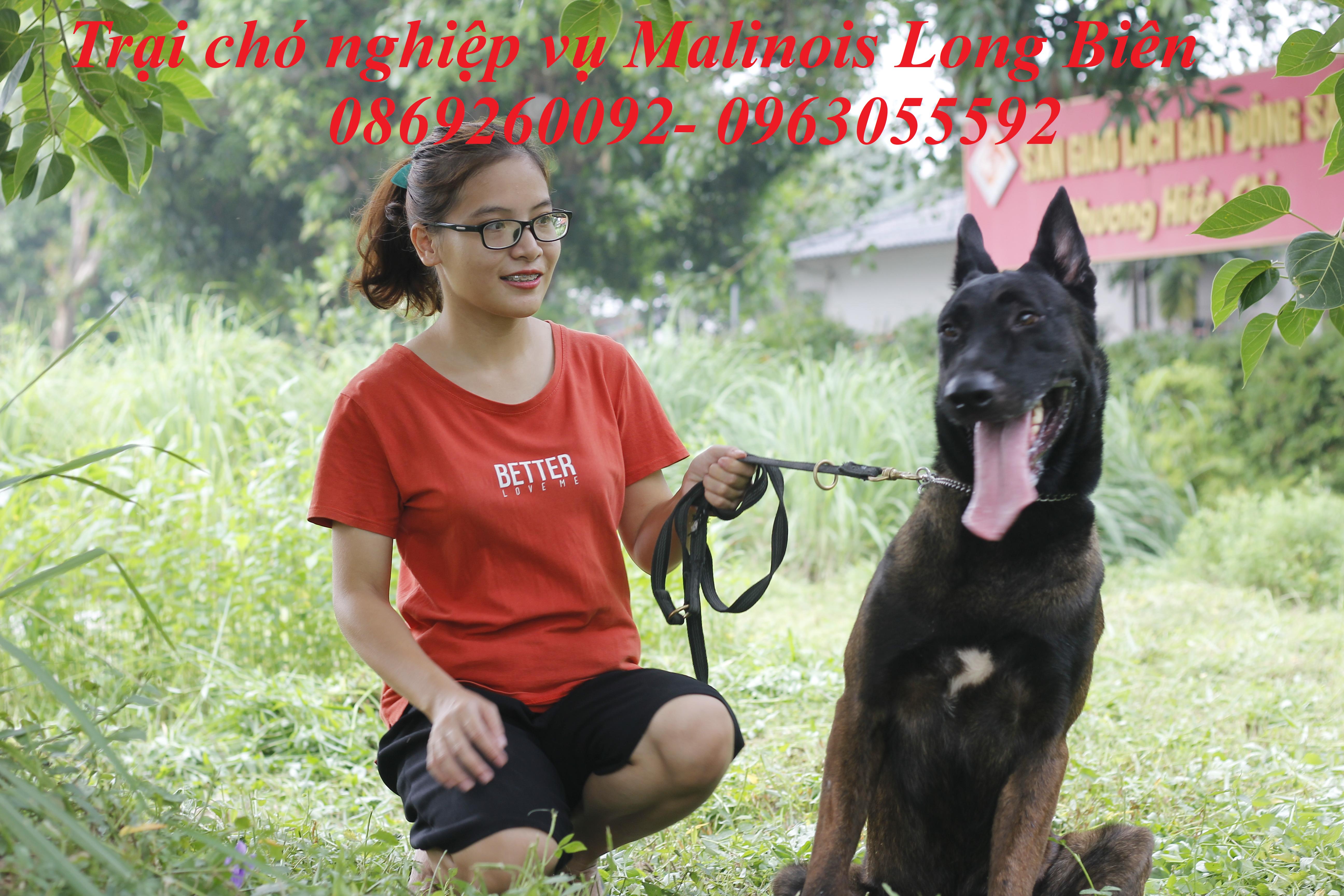 Chó Malinois trưởng thành tại trại chó Malinois Long biên
