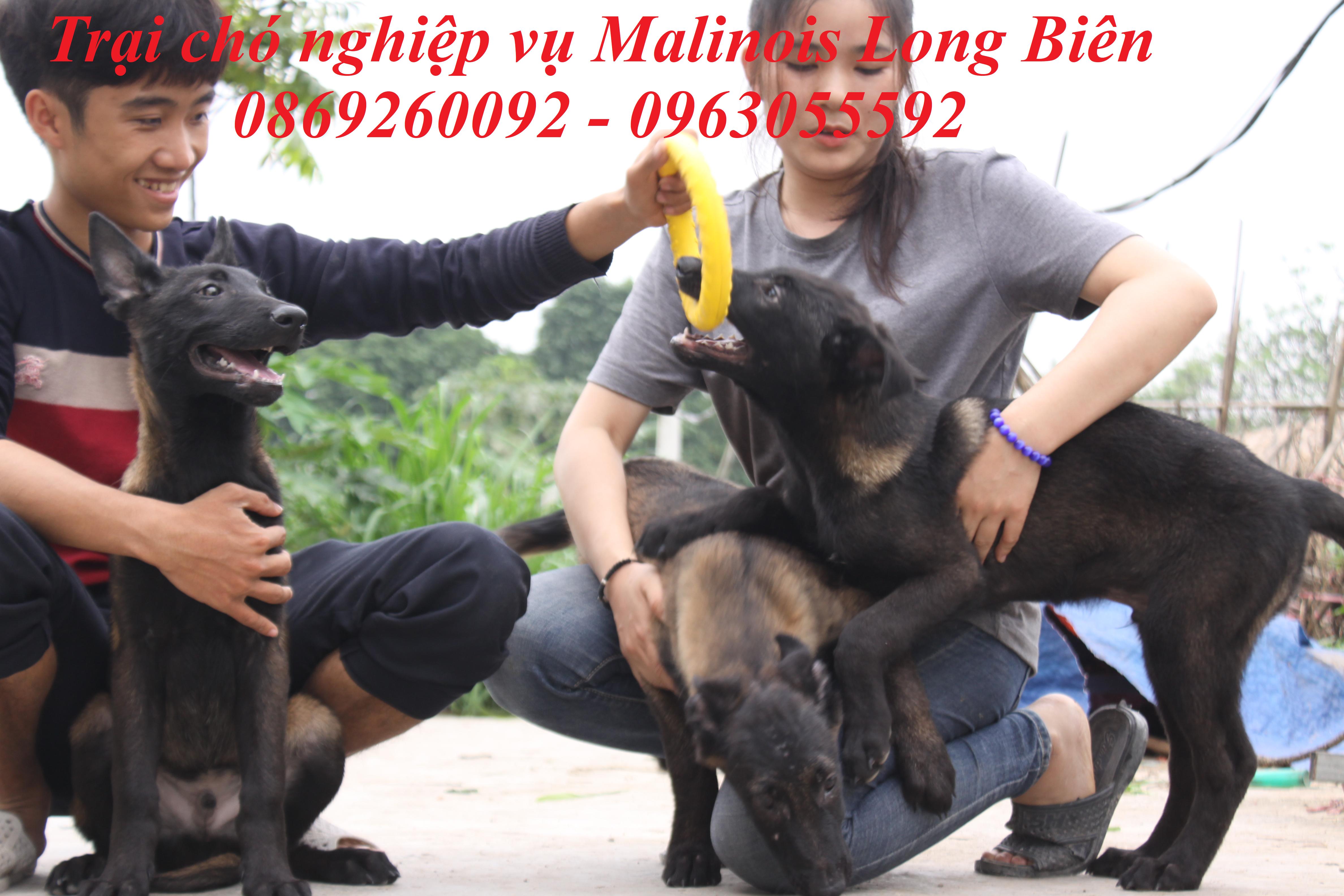 Đánh giá chó begcie bỉ con tại trại chó Malinois Long Biên