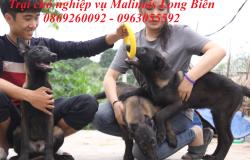 Trại chó Malinois Becgie Bỉ Long Biên – Hà Nội
