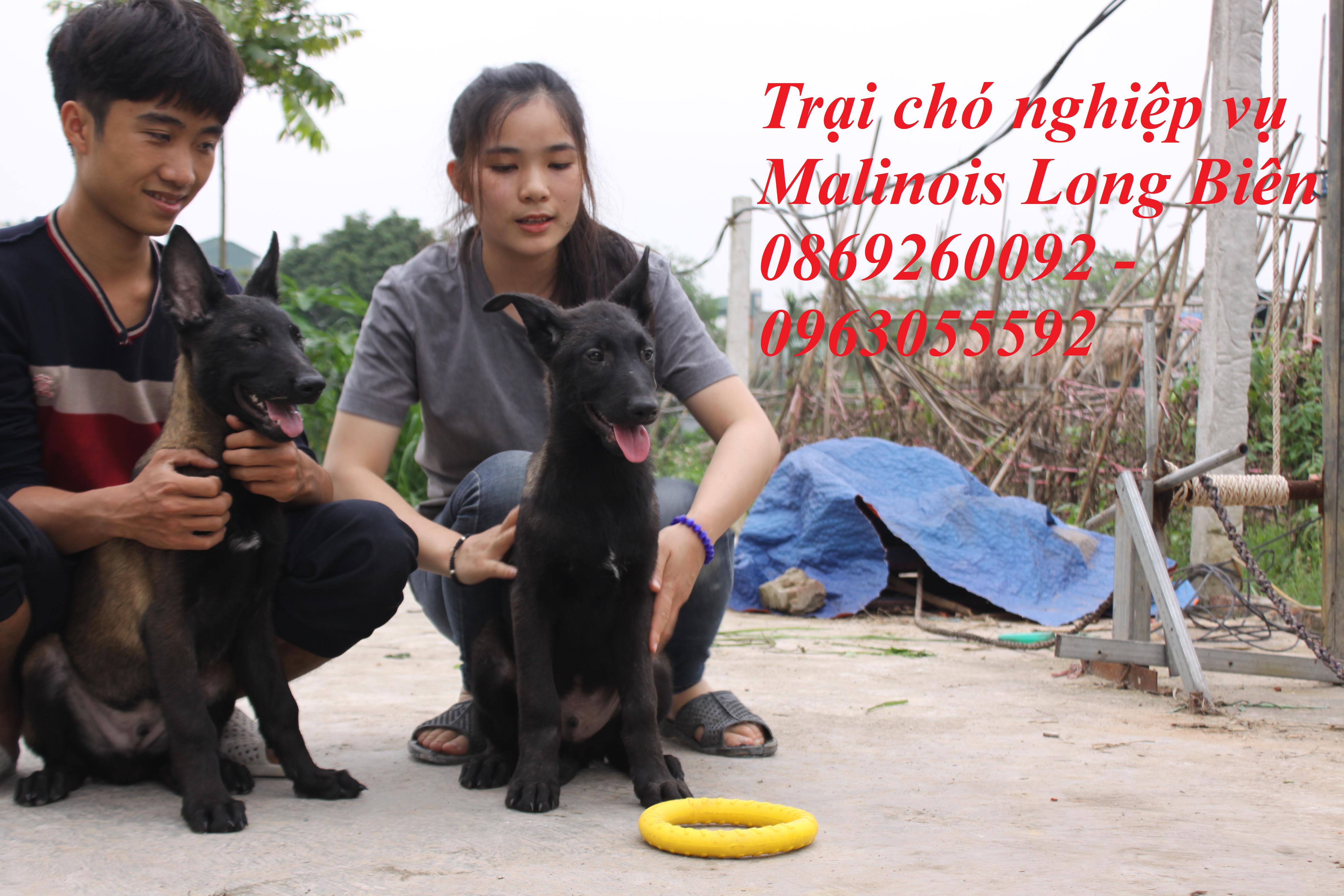Điều hướng chó becgie Bỉ tại trại chó nghiệp vụ malinois long Biên