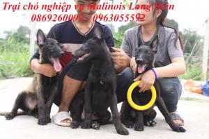 Chăm sóc chó becgie Bỉ malinois khi còn bé