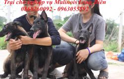 Kinh nghiệm nuôi chó becgie Bỉ con