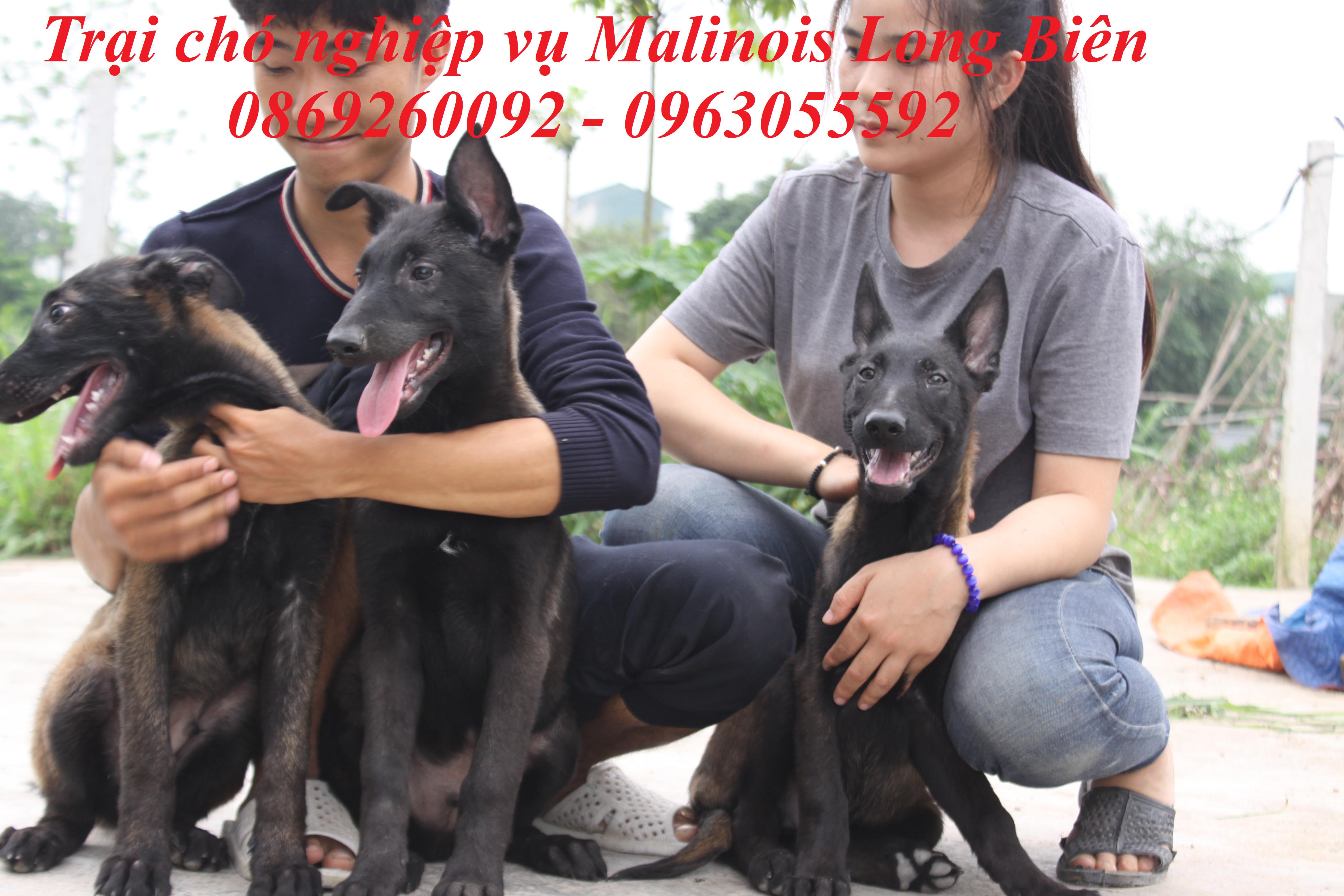 Chó Malinois con tại trại chó Malinois Long Biên