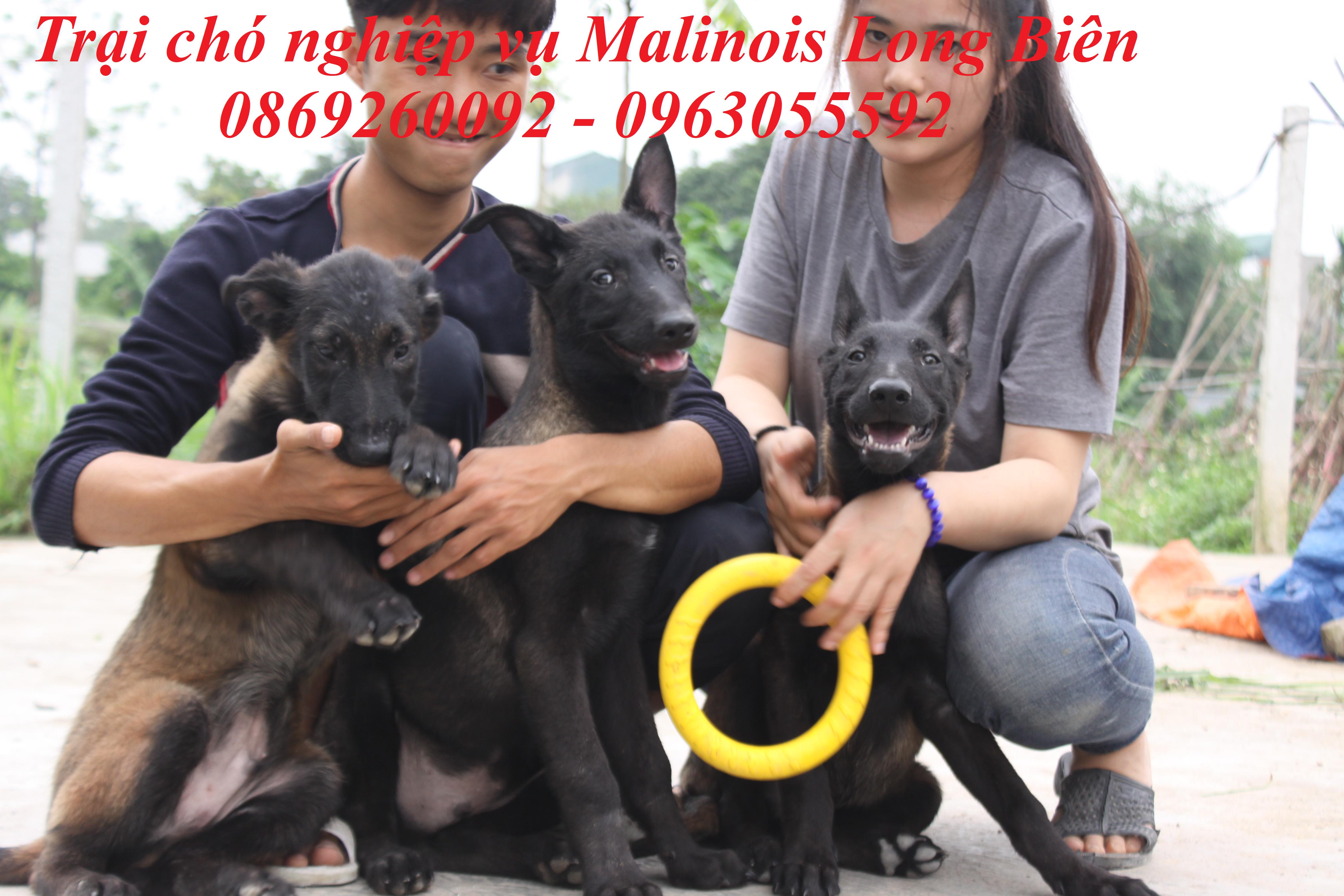 Chó malinois dễ chăm tại trại chó Malinois Long Biên