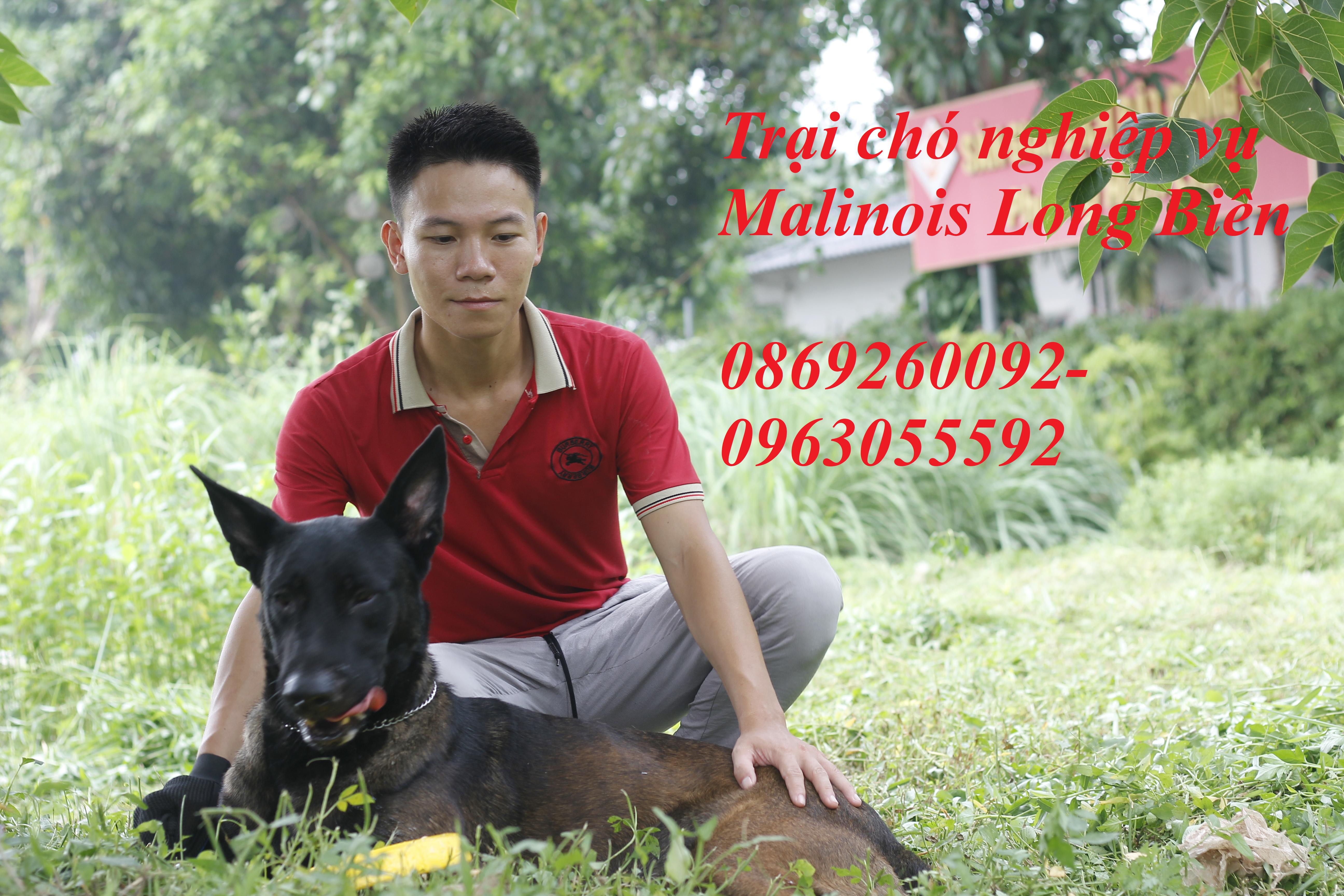 Chó Malinois tại trại chó Malinois Long Biên