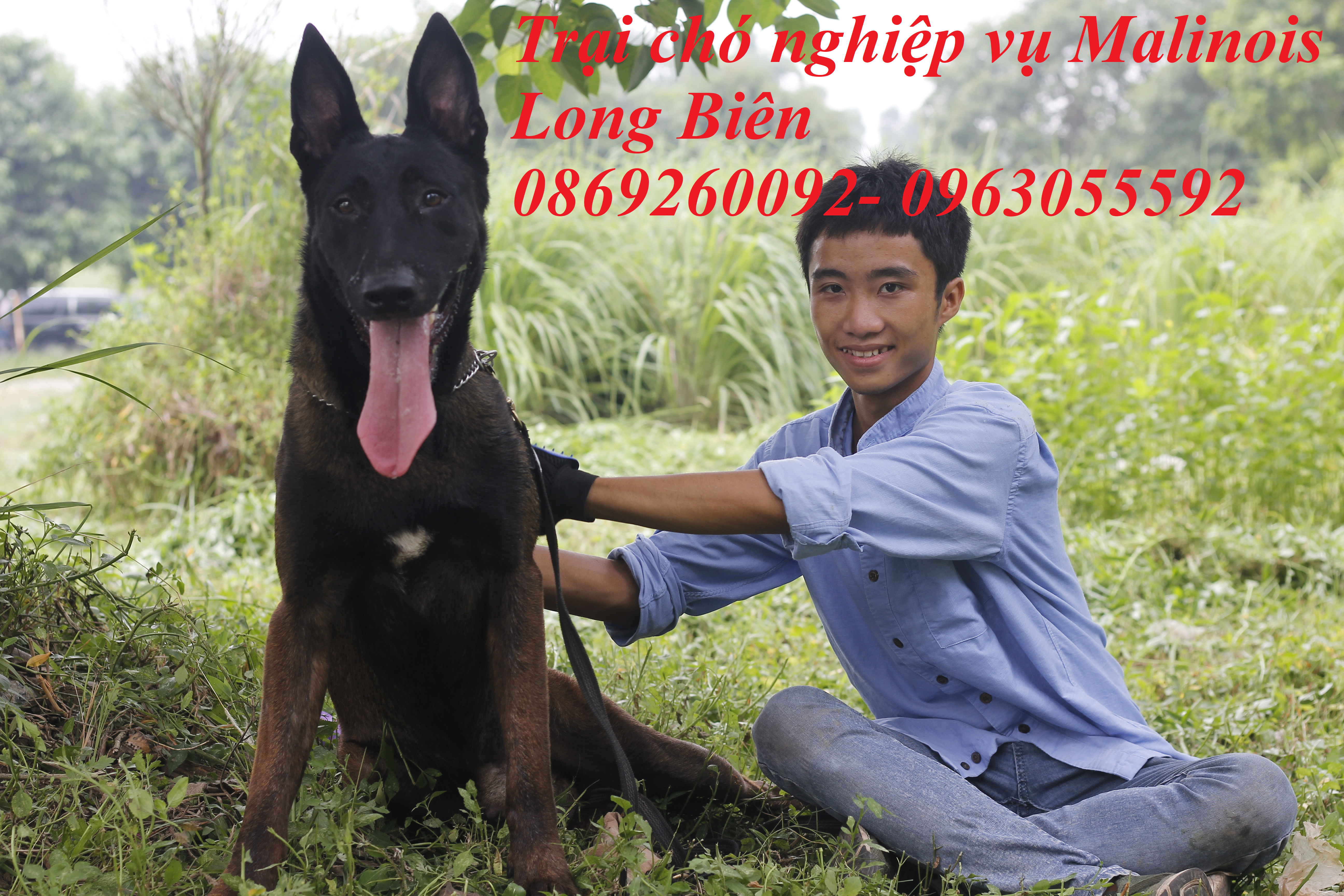 Đánh giá chó becgie bỉ trưởng thành tại trại chó Malinois Long Biên