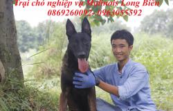 Bán chó Malinois Becgie Bỉ tại Đà Nẵng.