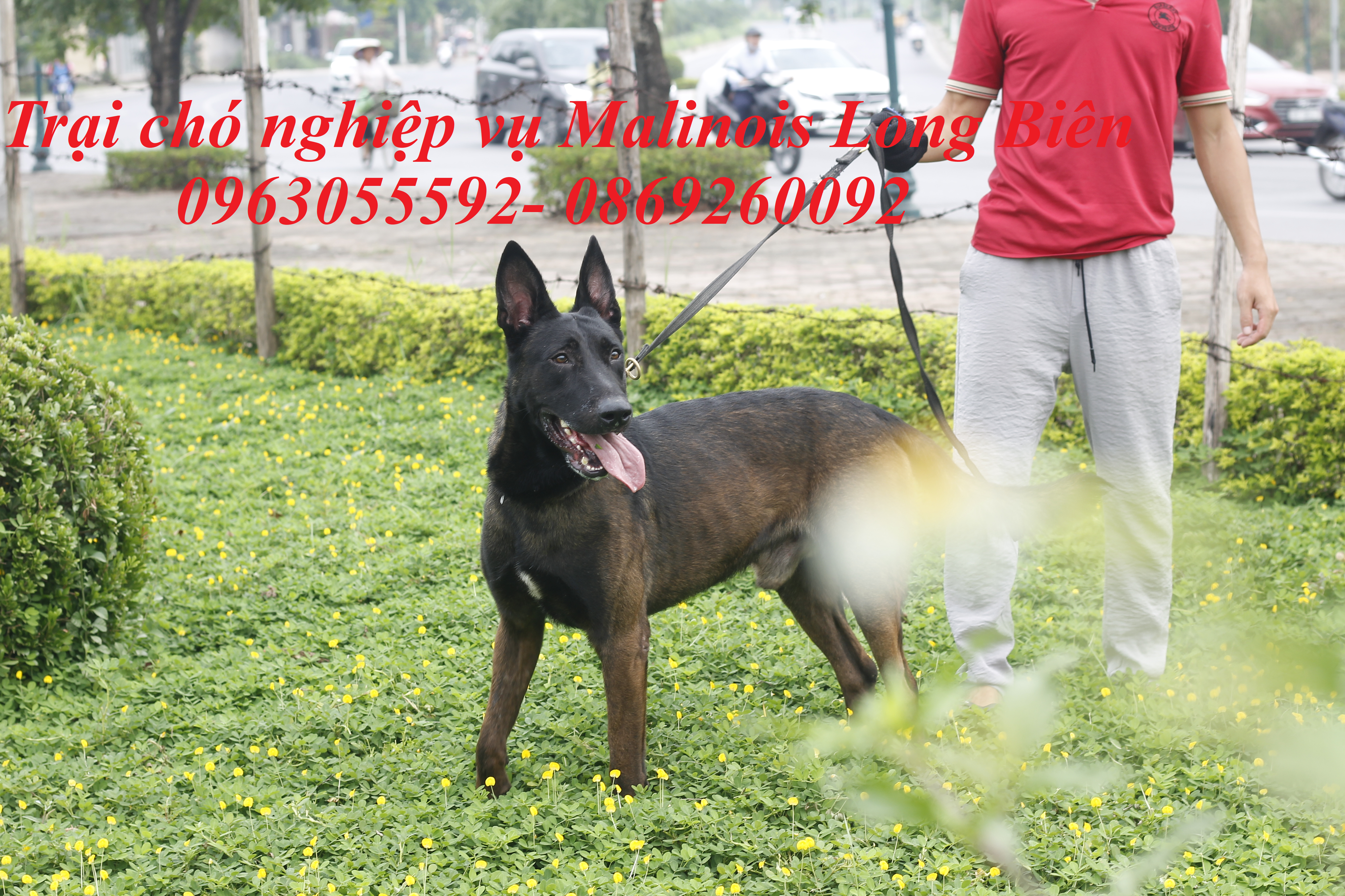 Nuôi chó becgie Bỉ trưởng thành tại trại chó nghiệp vụ malinois long Biên