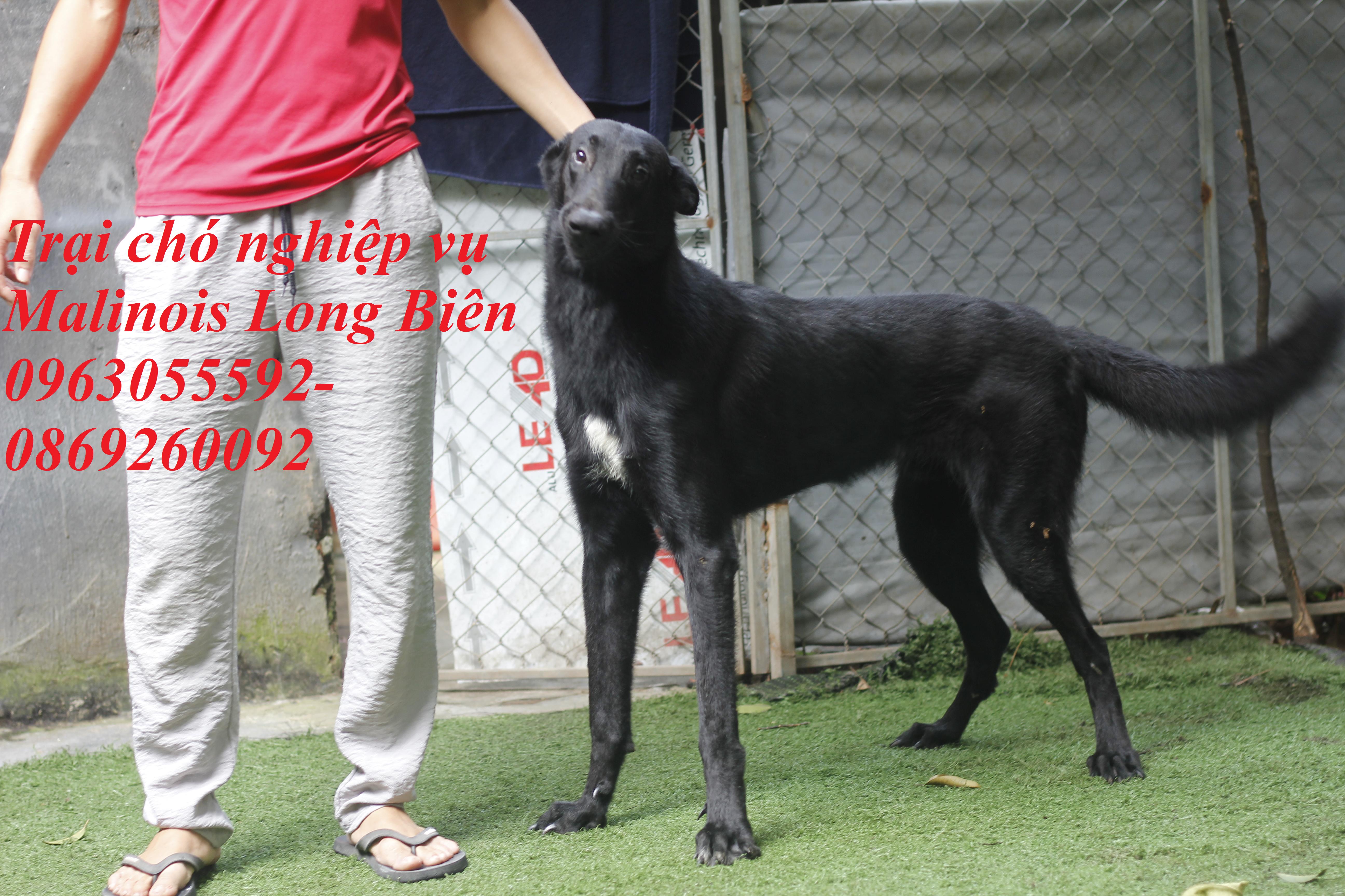 Chó trưởng thành tại trại chó Malinois Long Biên
