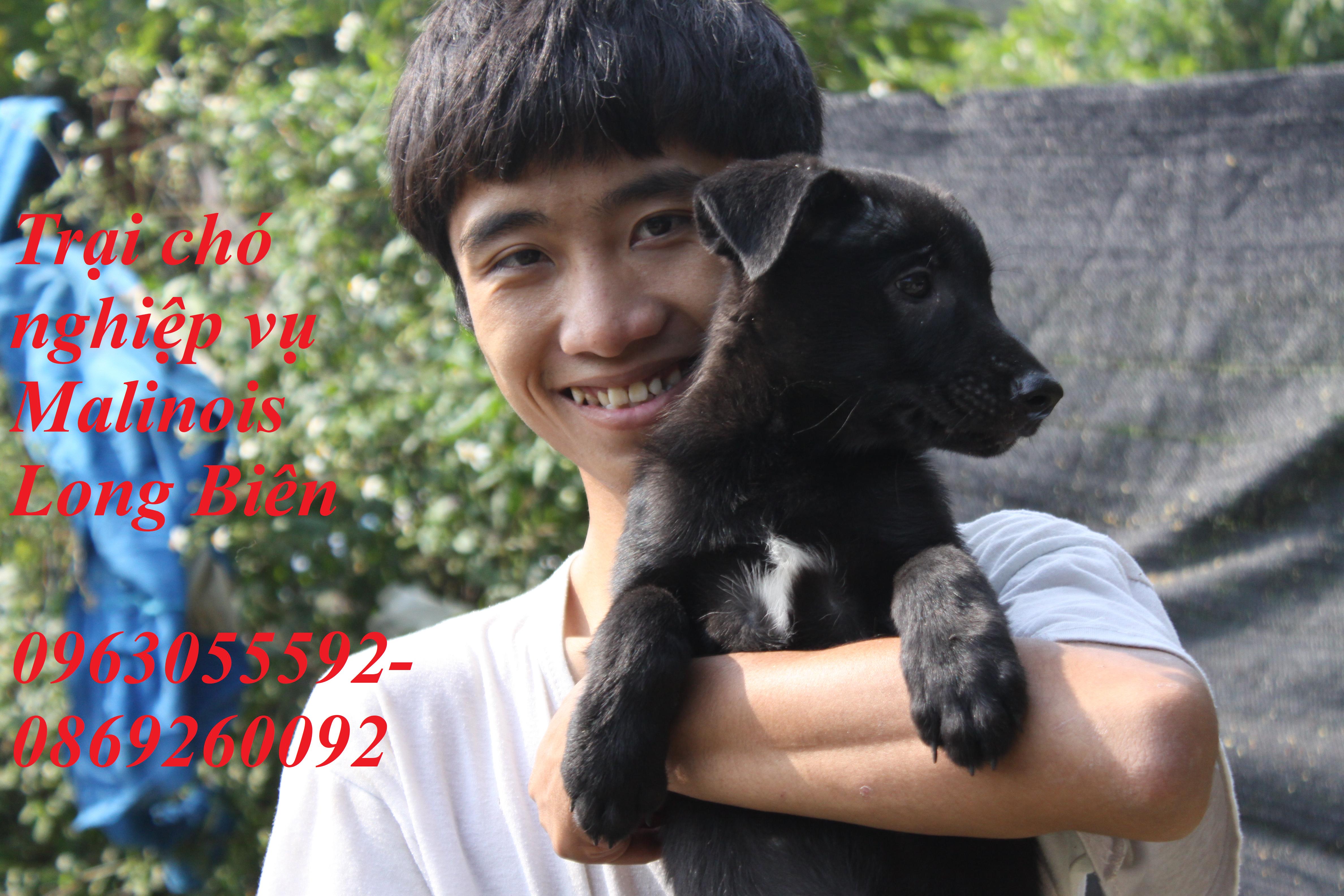 Chó Malinois con đen tuyền tại trại chó Malinois Long Biên