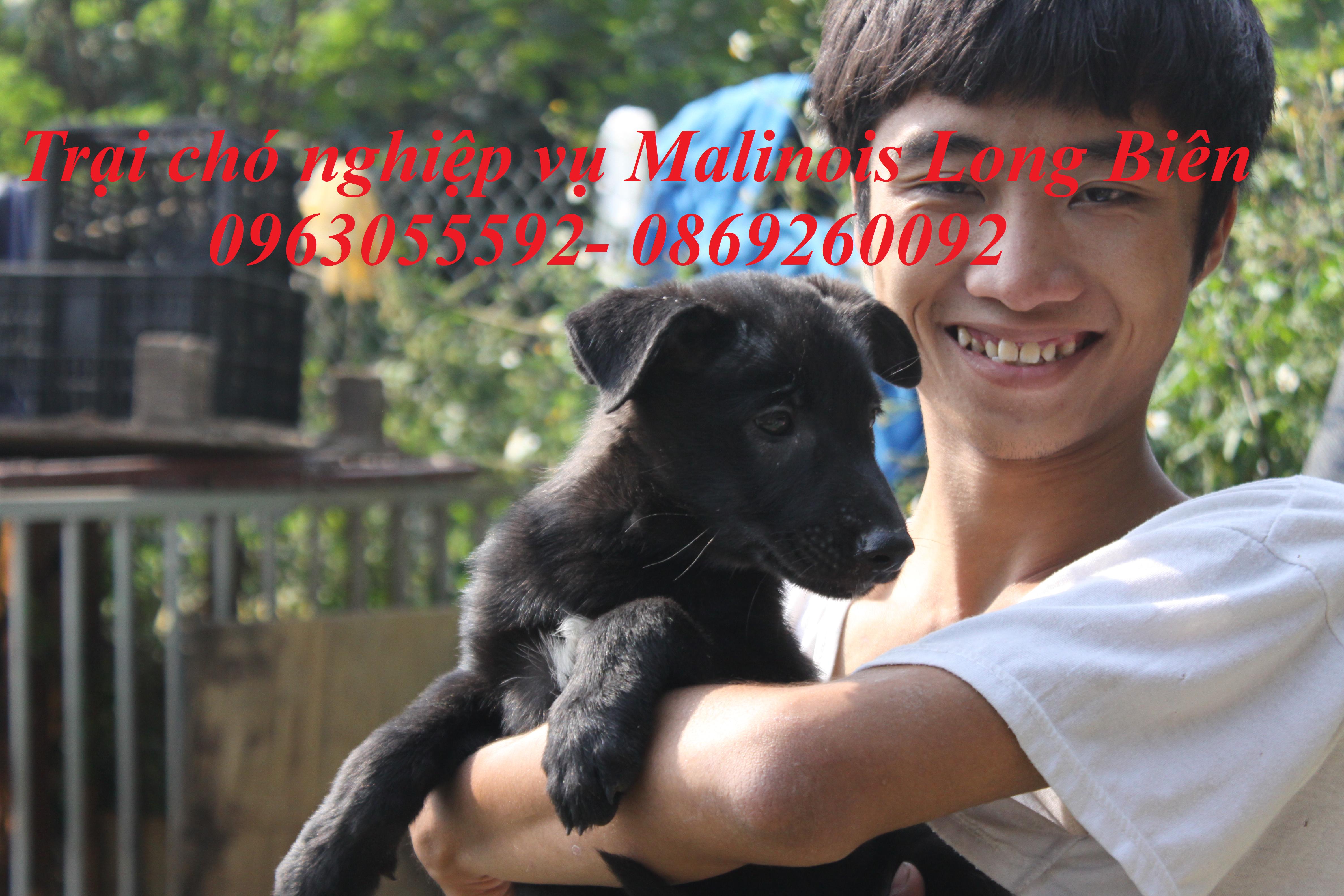 Chó becgie bỉ sinh sản tại trại chó malinois Long Biên