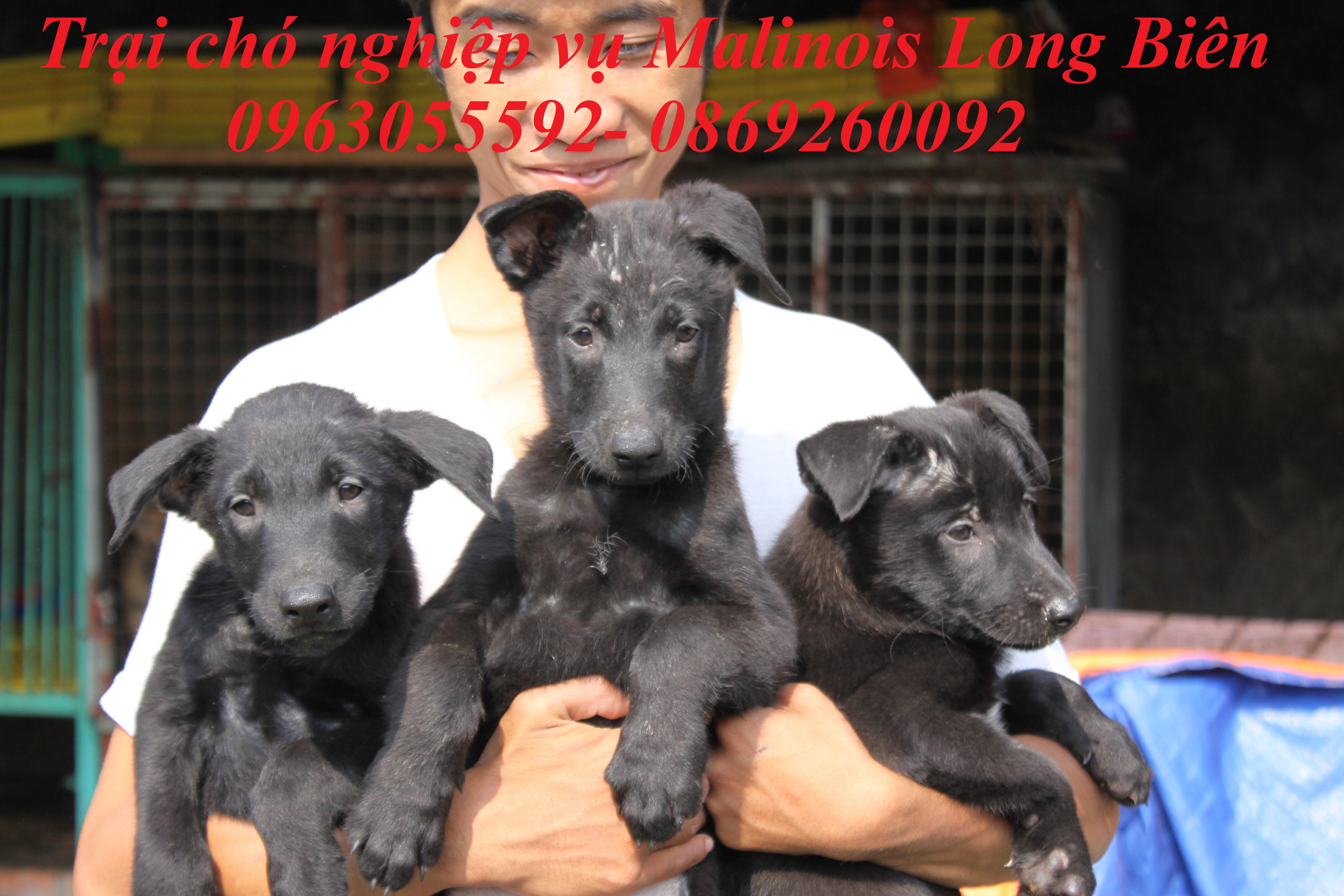 Chó Malinois đen tuyền tại trại chó Malinois Long Biên