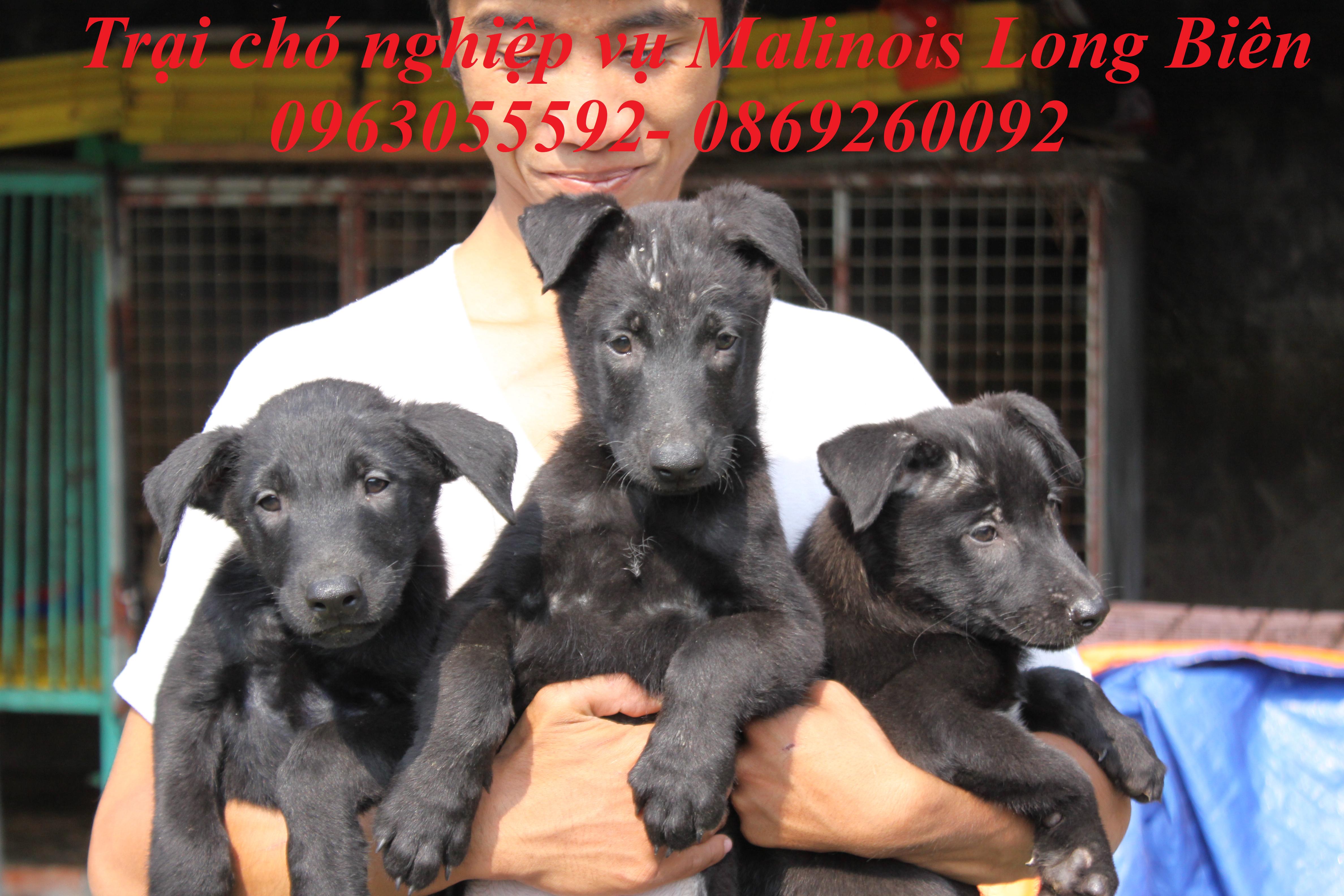 Chó becgie bỉ sinh sản tại trại chó malinois Long Biên 2 tháng tuổi siêu đáng yêu