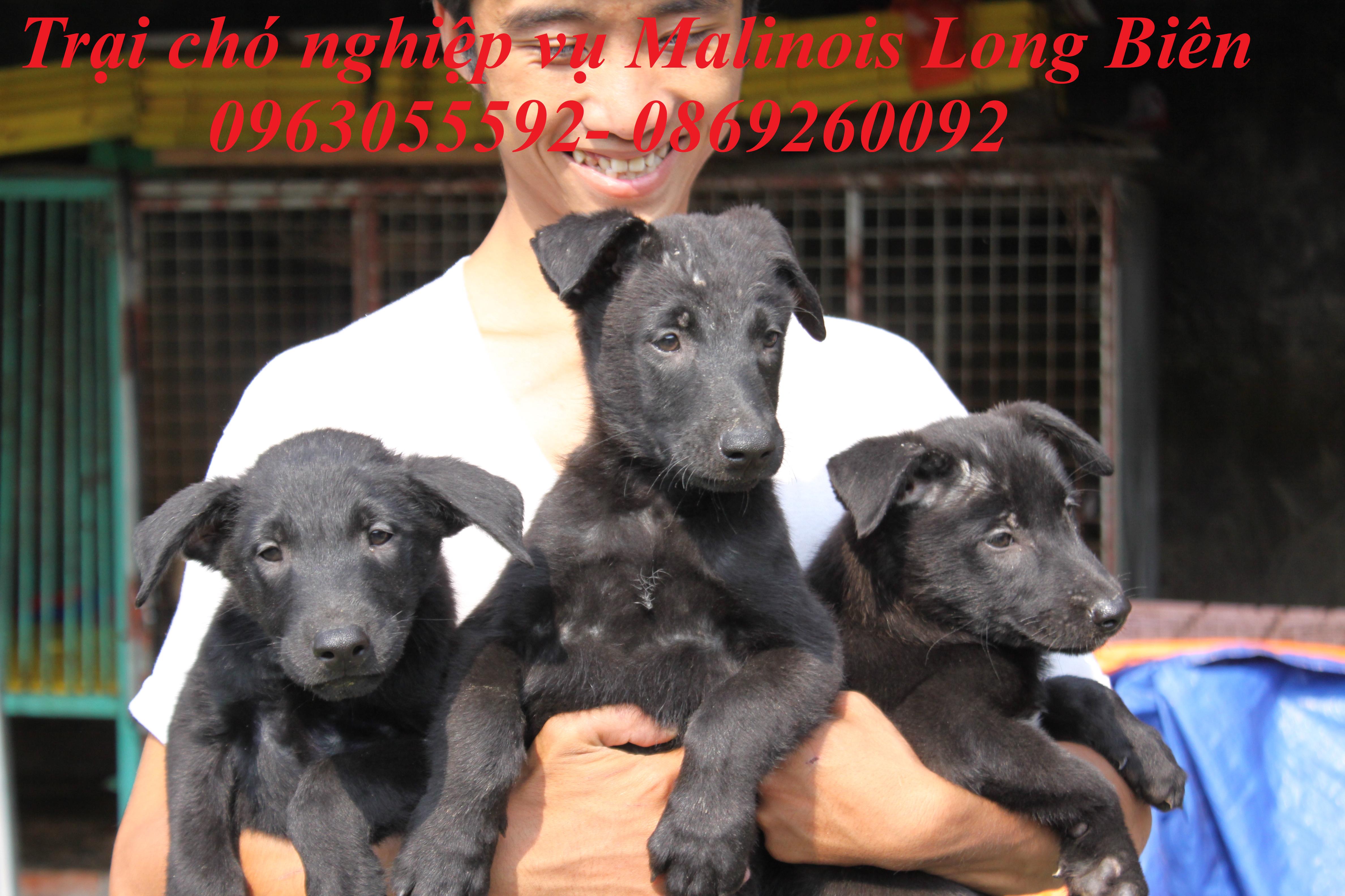 Nuôi chó becgie Bỉ con tại trại chó nghiệp vụ malinois Long Biên