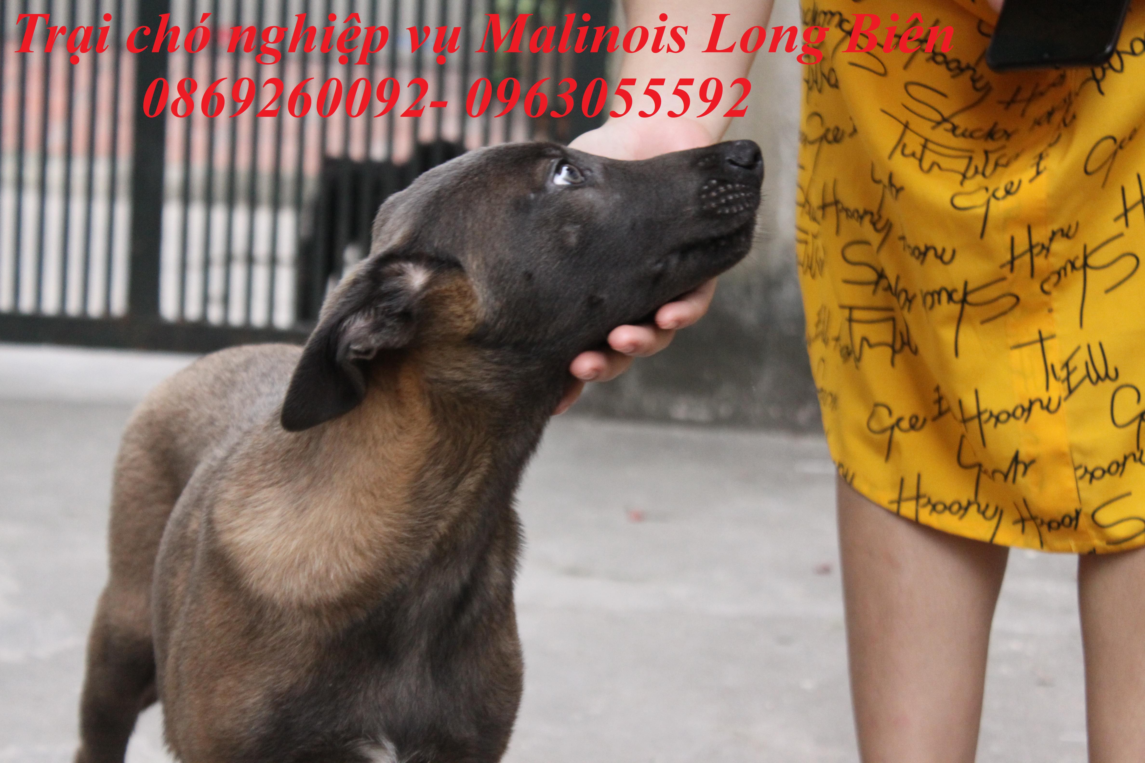 Chó Malinois màu Blu tại trại chó Malinois Long Biên