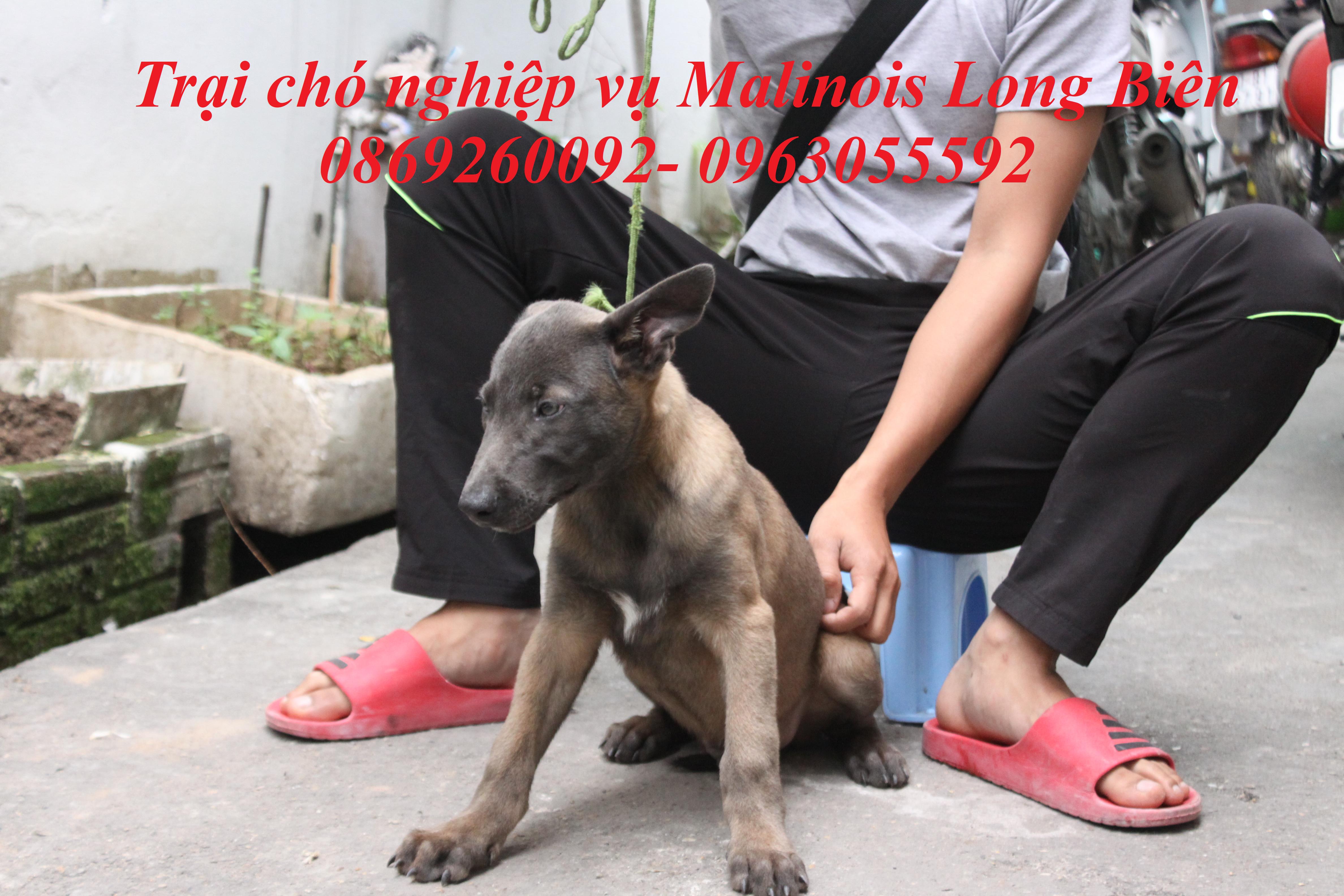 Mua chó Malinois Becgie Bỉ tại trại chó Malinois Long Biên Hà nội