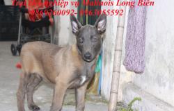 Tìm mua chó Malinois và giá chó.