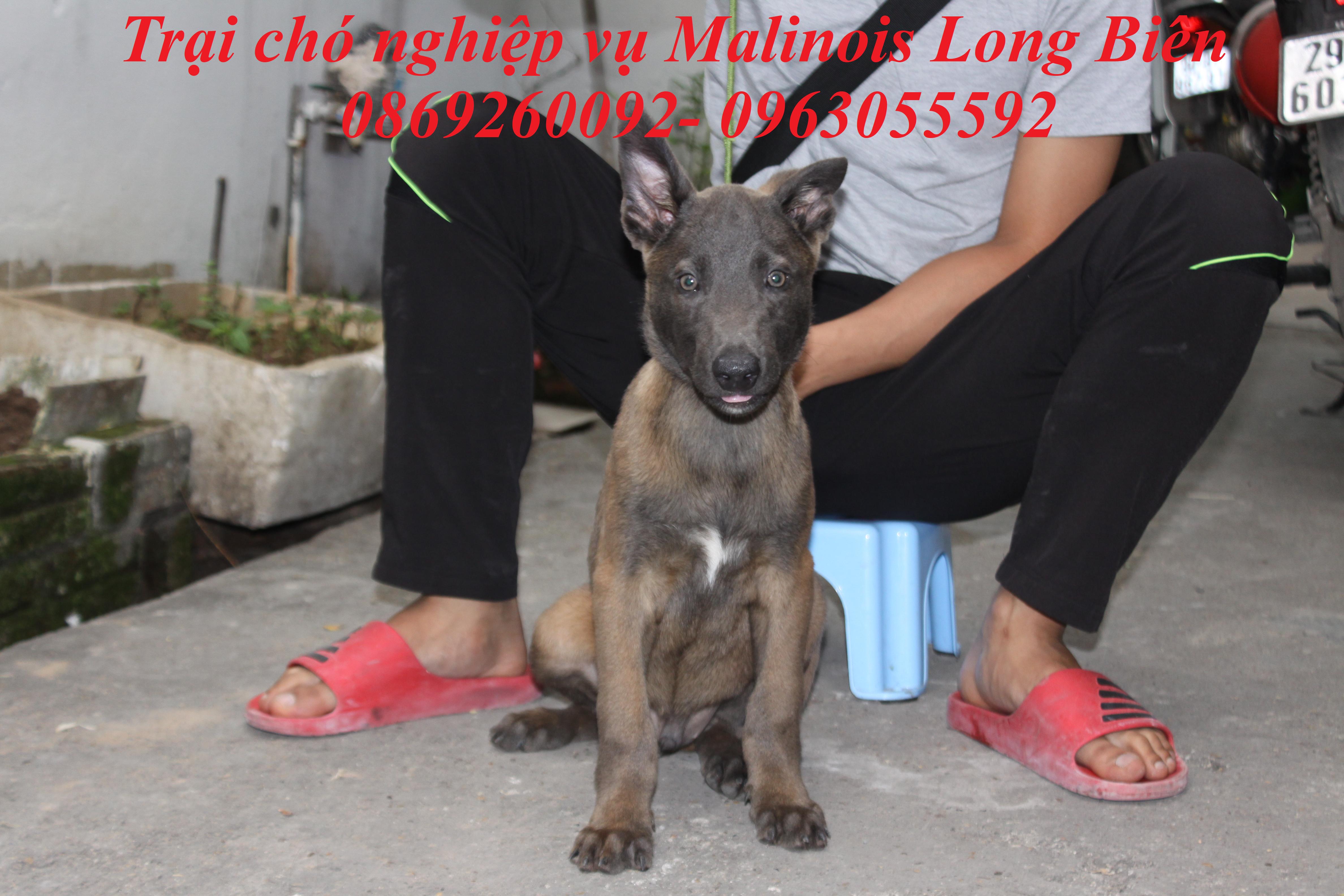Cách huấn luyện chó tại trại chó Malinois Long Biên