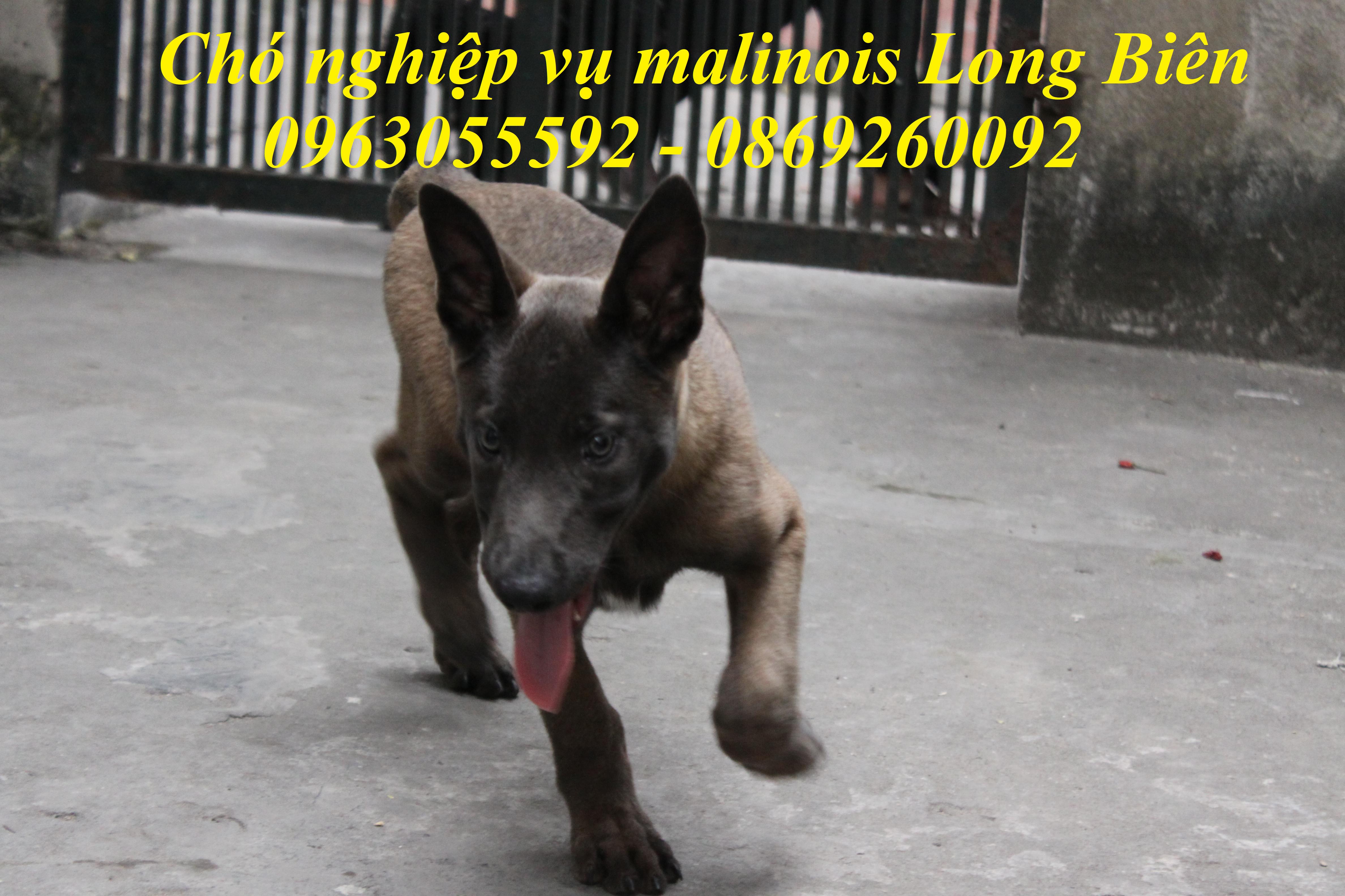 Chó becgie Bỉ malinois 2 tháng tuổi nặng 6-8kg tại trại chó nghiệp vụ malinois Long Biên