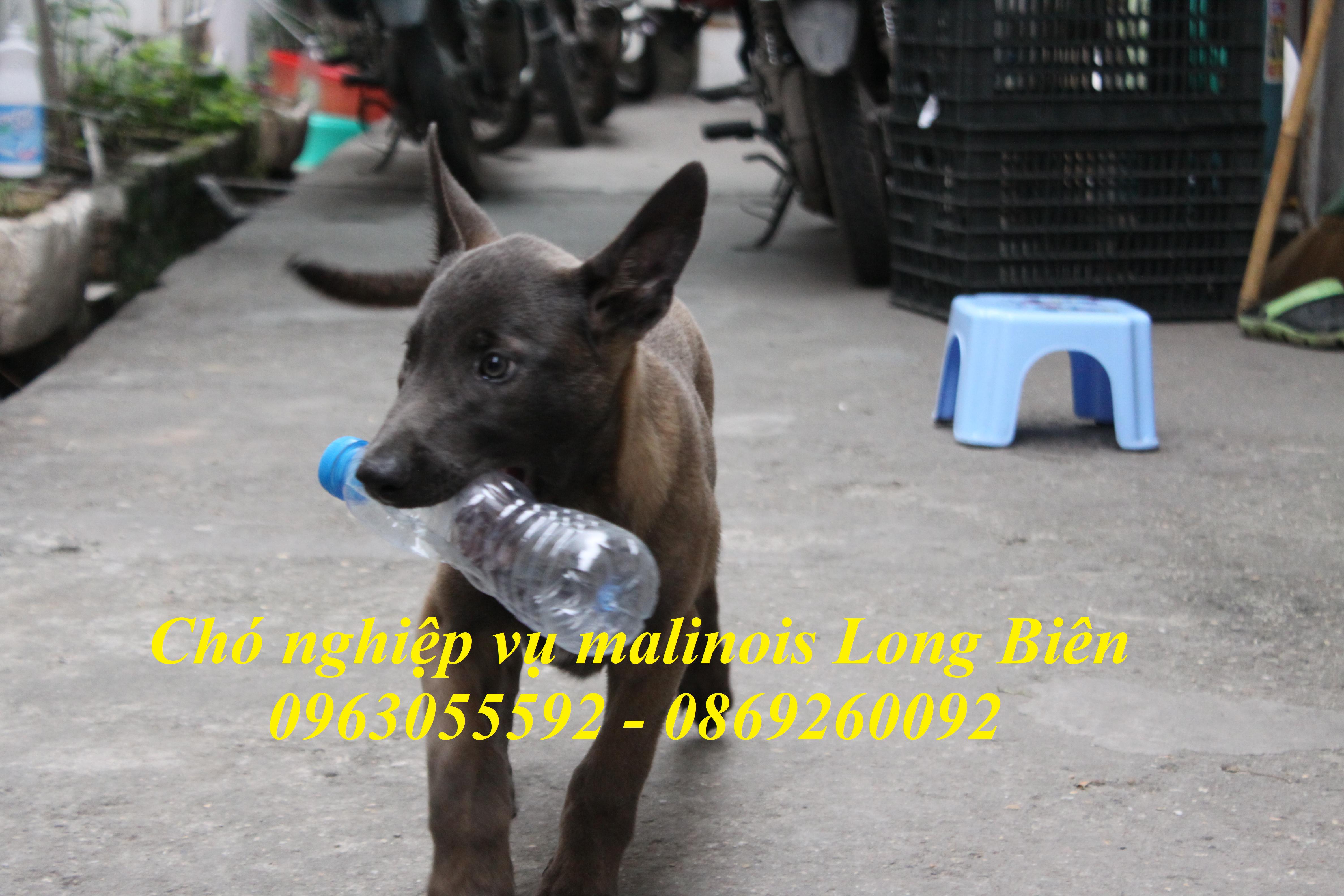Địa chỉ bán chó becgie bỉ uy tín tại Long Biên Hà Nội