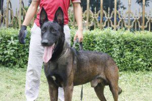 Đnahs giá chó Becgie malinois trưởng thành tại trại chó Malinois Long Biên