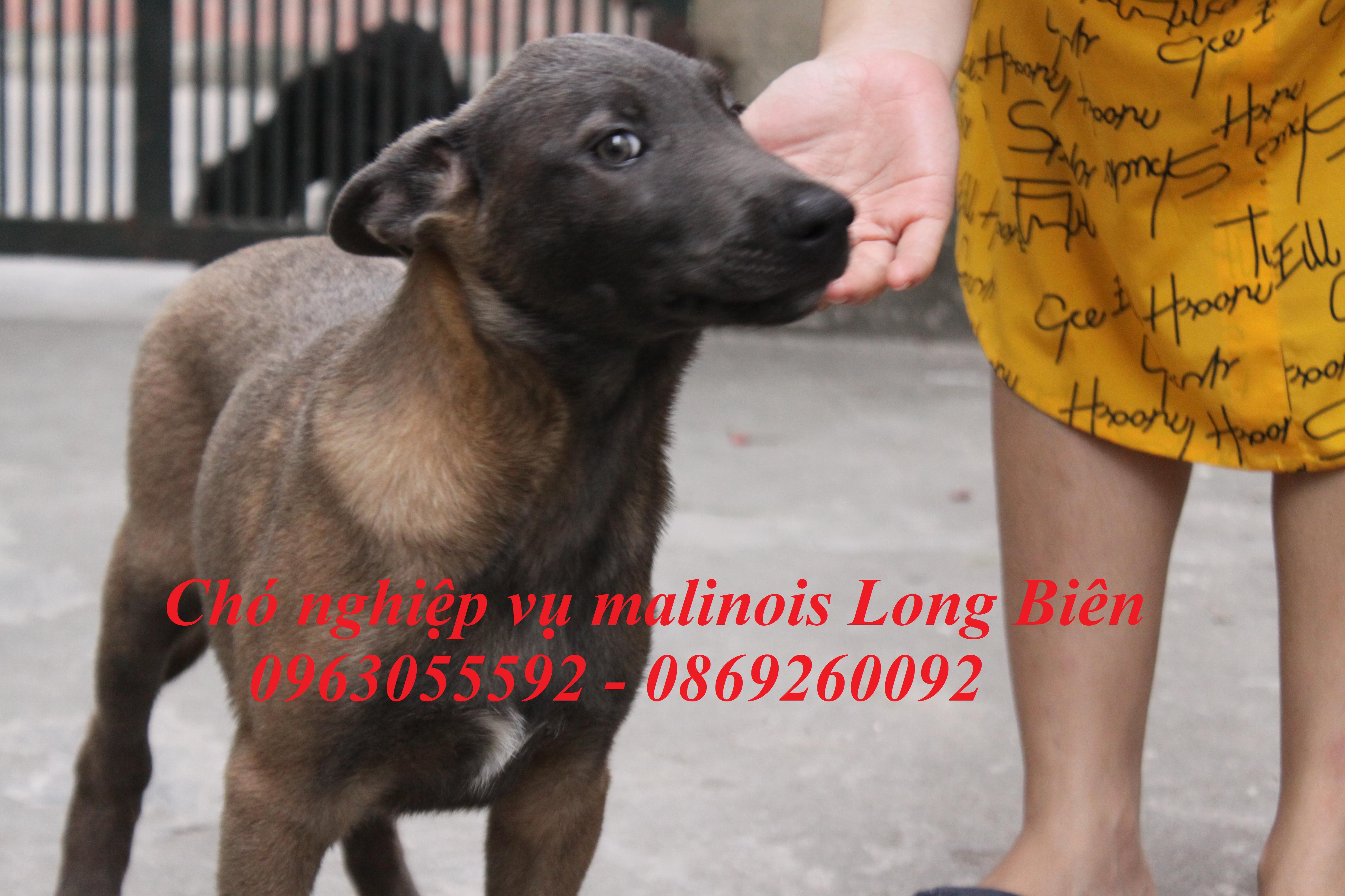 Chăm chó Malinois tại trại chó Malinois Long Biên