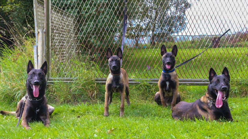 Mua chó becgie bỉ tại trại chó Malinois Long Biên