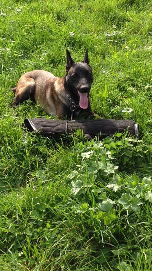 Mua chó becgie bỉ con tại trại chó malinois Long Biên